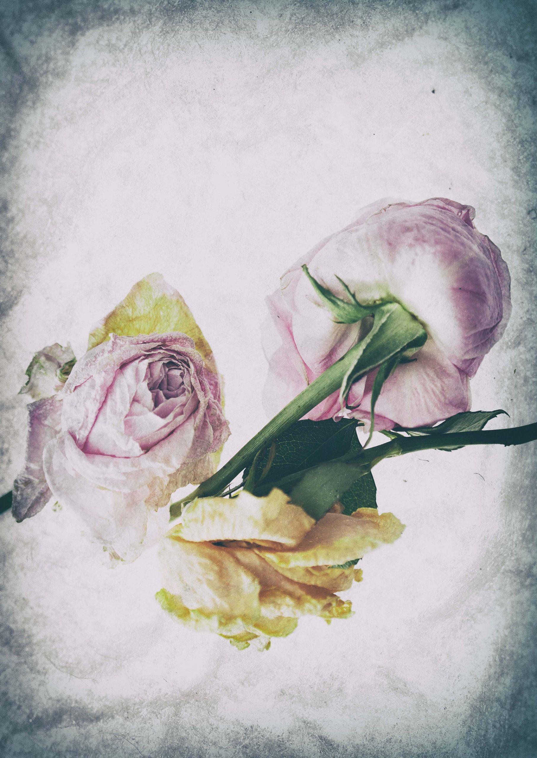Blumen, Bilder, Rosen, duftene Rosen, Rosenjoghurt